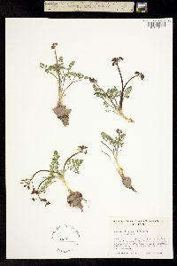 Image of Lomatium hendersonii