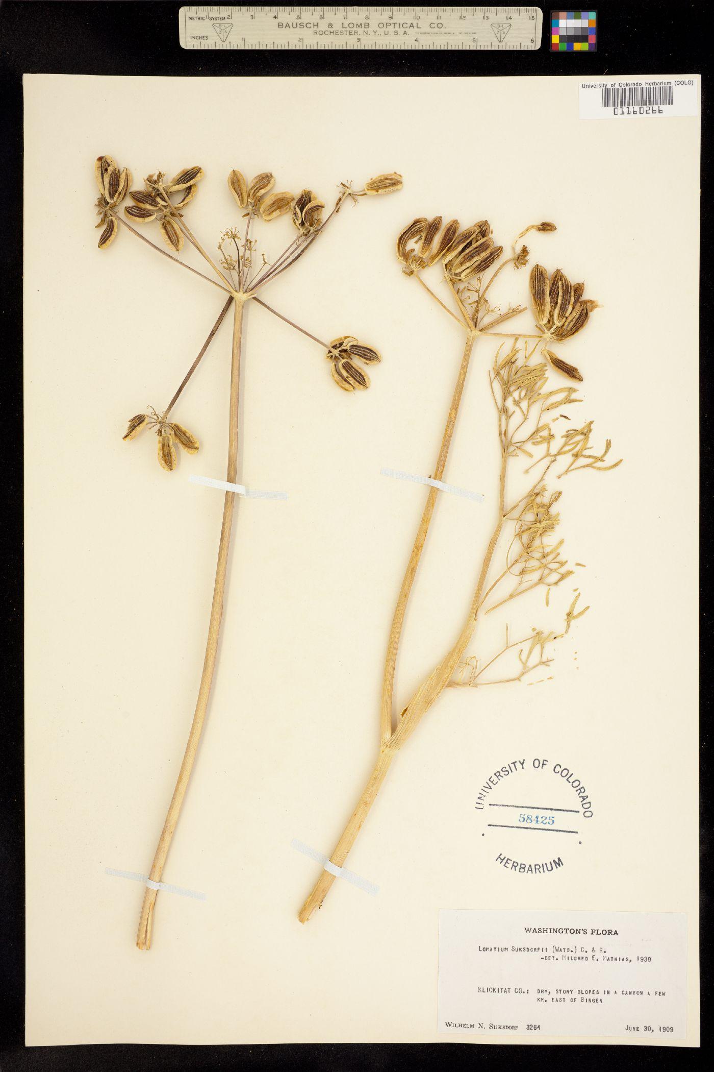 Lomatium suksdorfii image