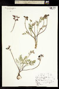 Image of Lomatium roseanum