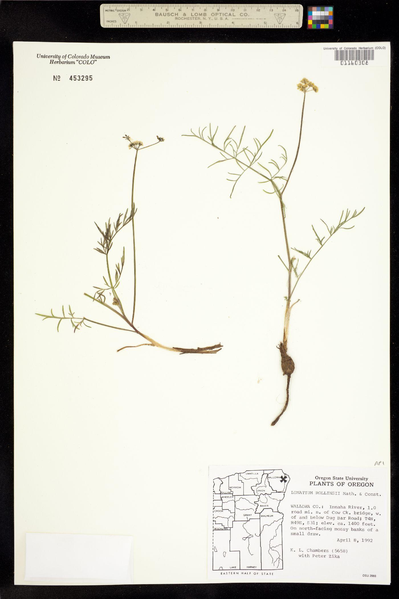 Lomatium rollinsii image