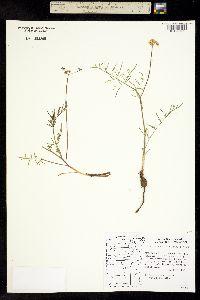 Image of Lomatium rollinsii