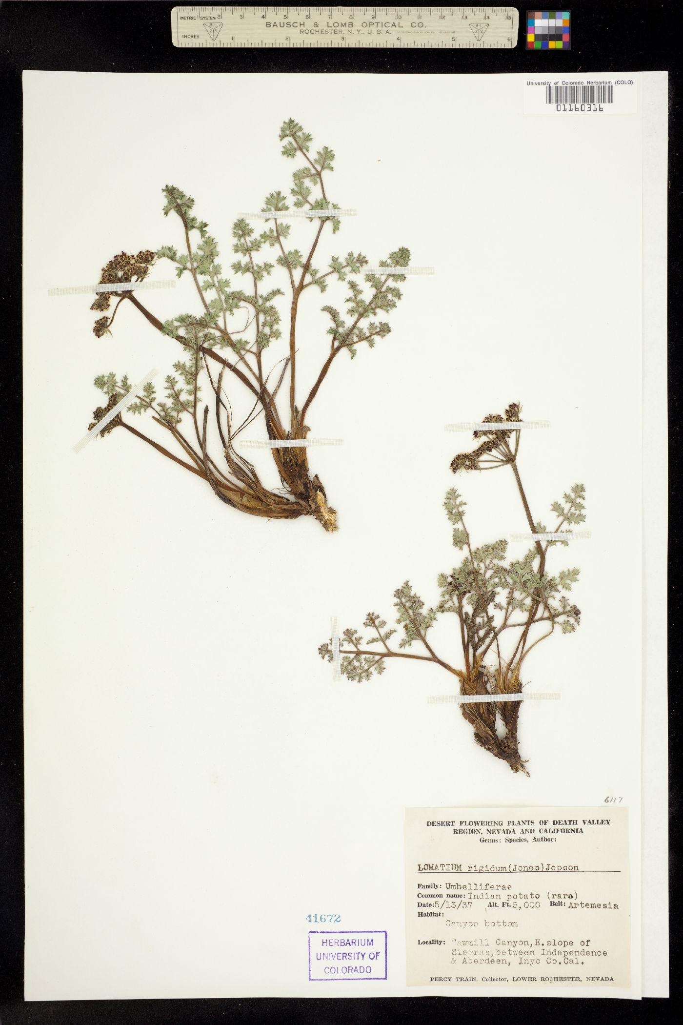 Lomatium rigidum image