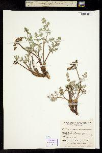 Image of Lomatium rigidum