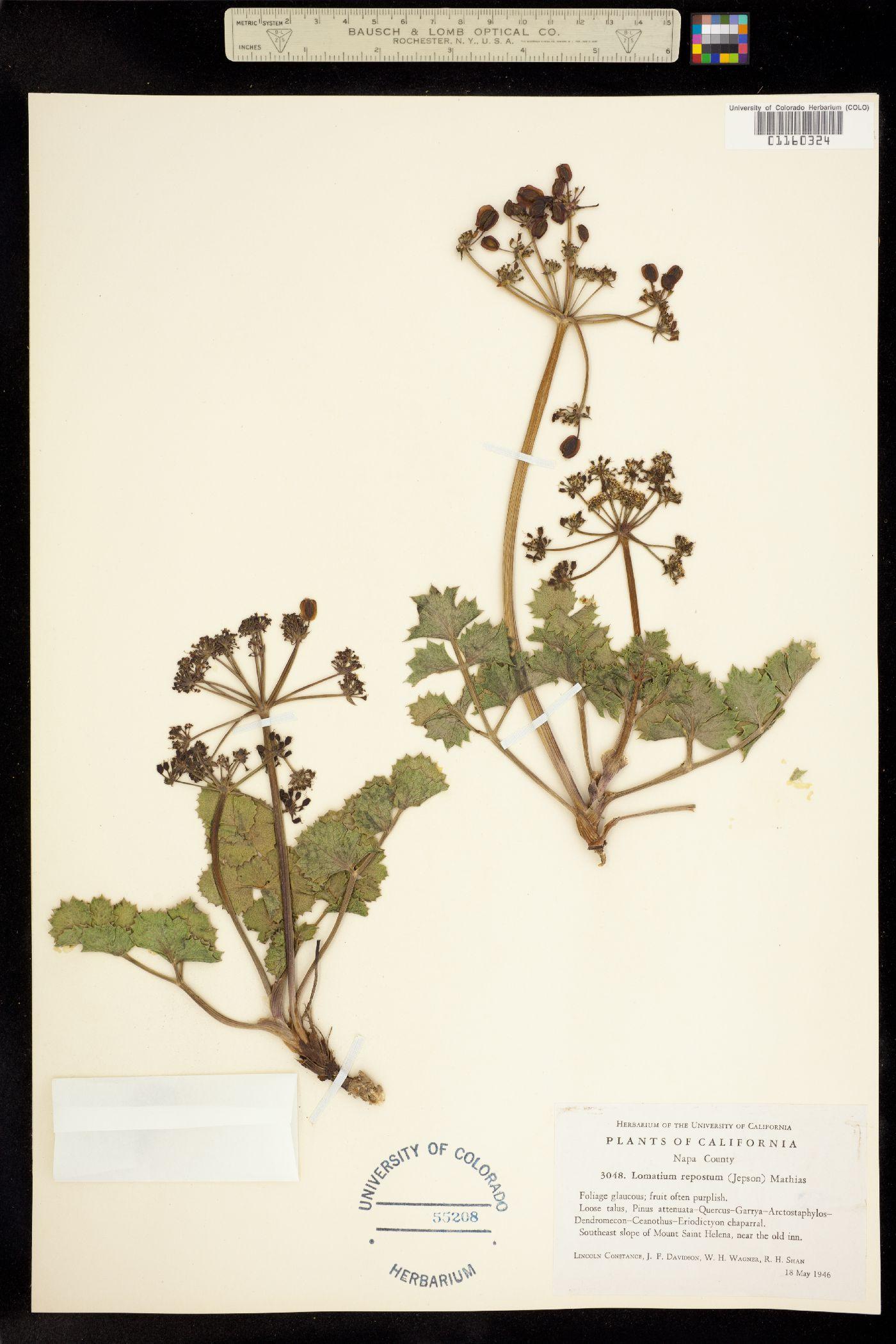 Lomatium repostum image