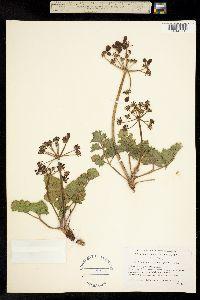 Image of Lomatium repostum