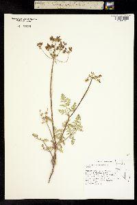 Image of Lomatium vaginatum