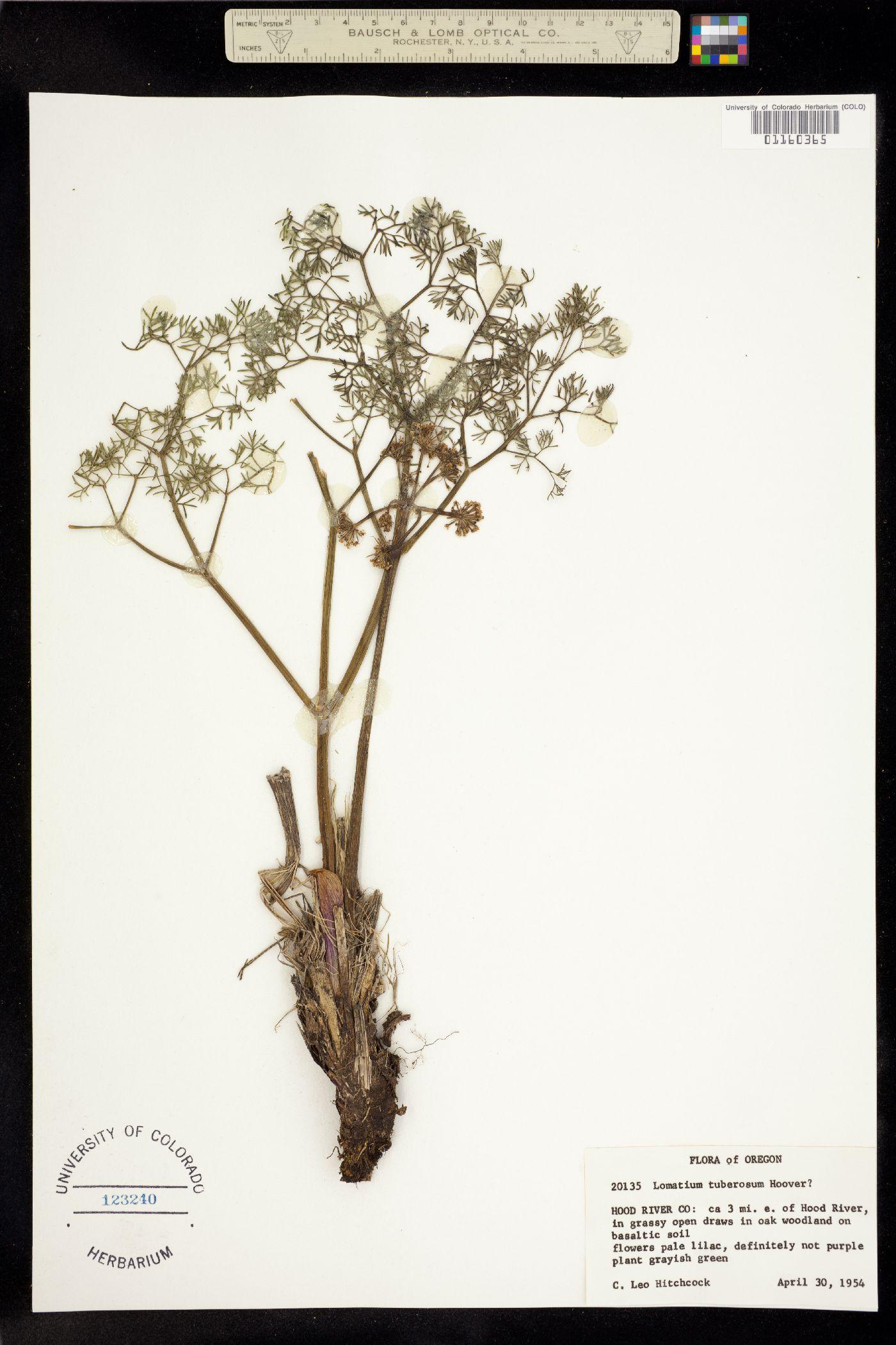 Lomatium tuberosum image