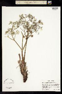 Image of Lomatium tuberosum