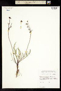 Image of Lomatium tracyi