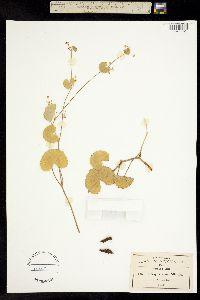 Micropleura renifolia image