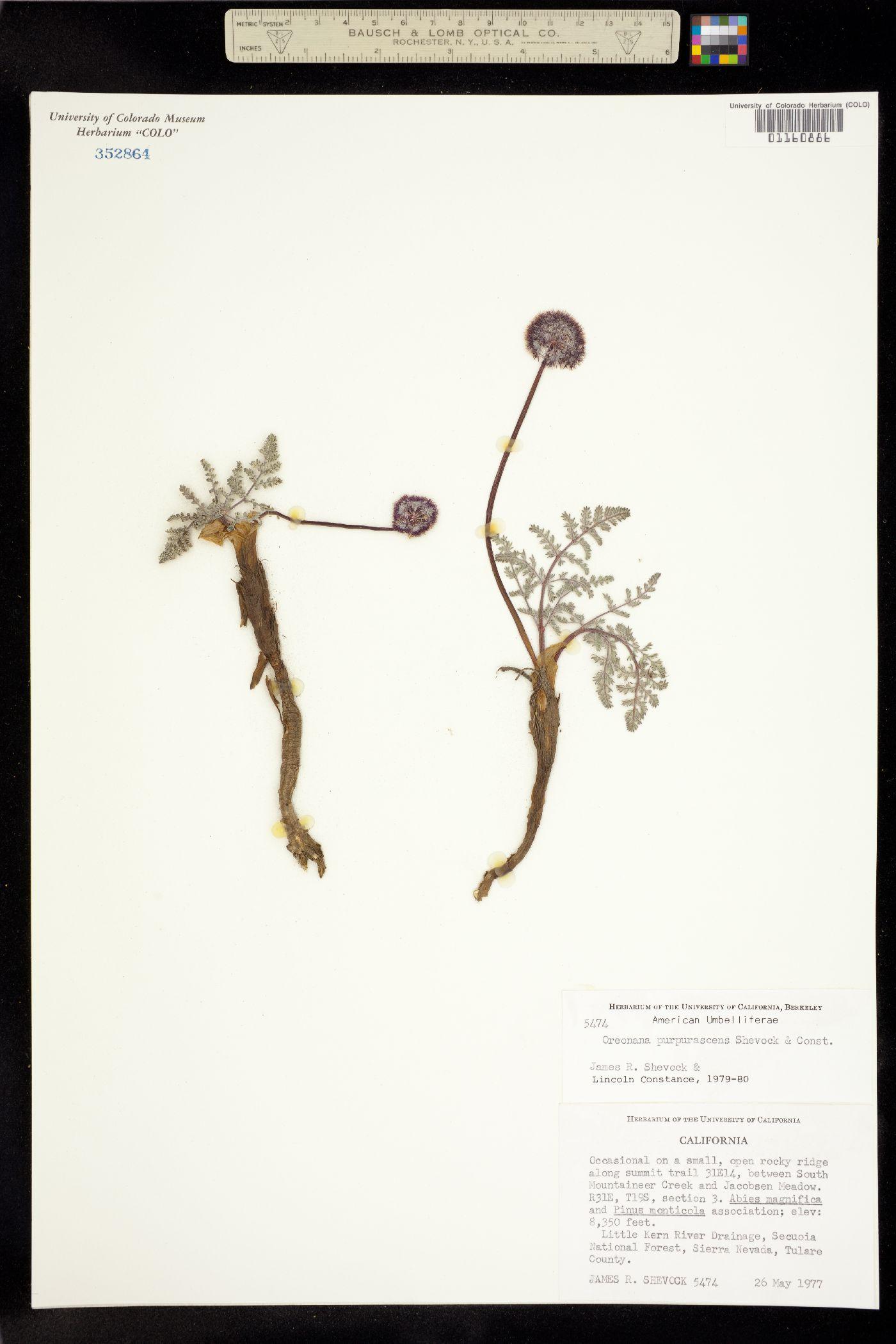 Oreonana purpurascens image