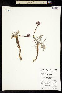Image of Oreonana purpurascens