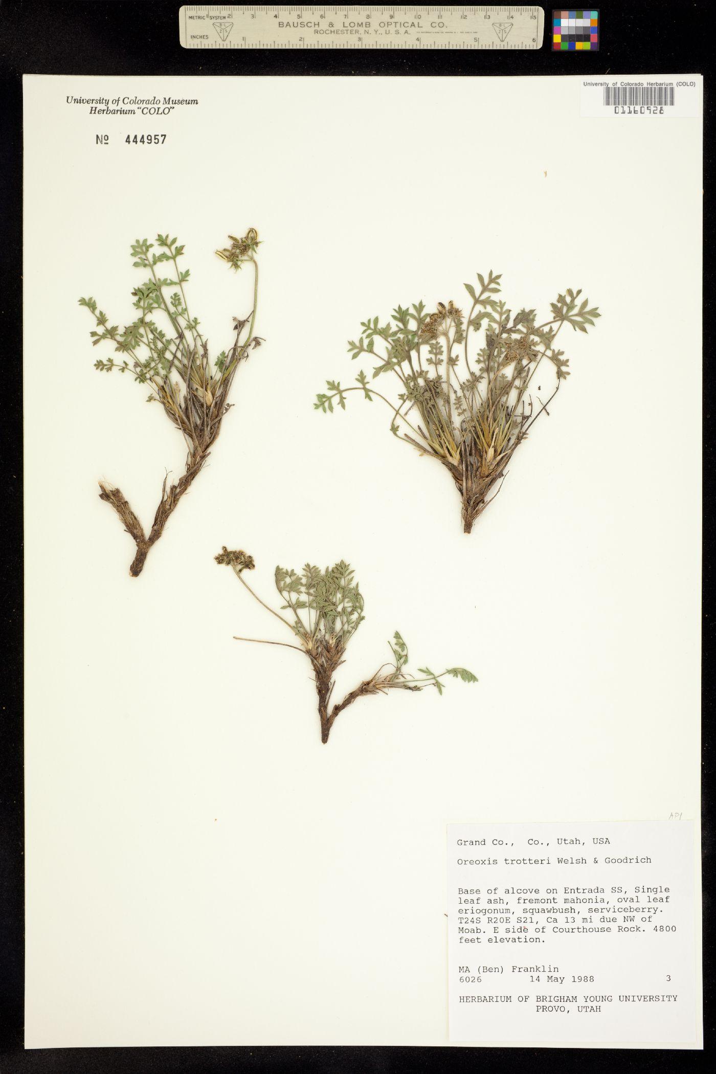 Oreoxis trotteri image