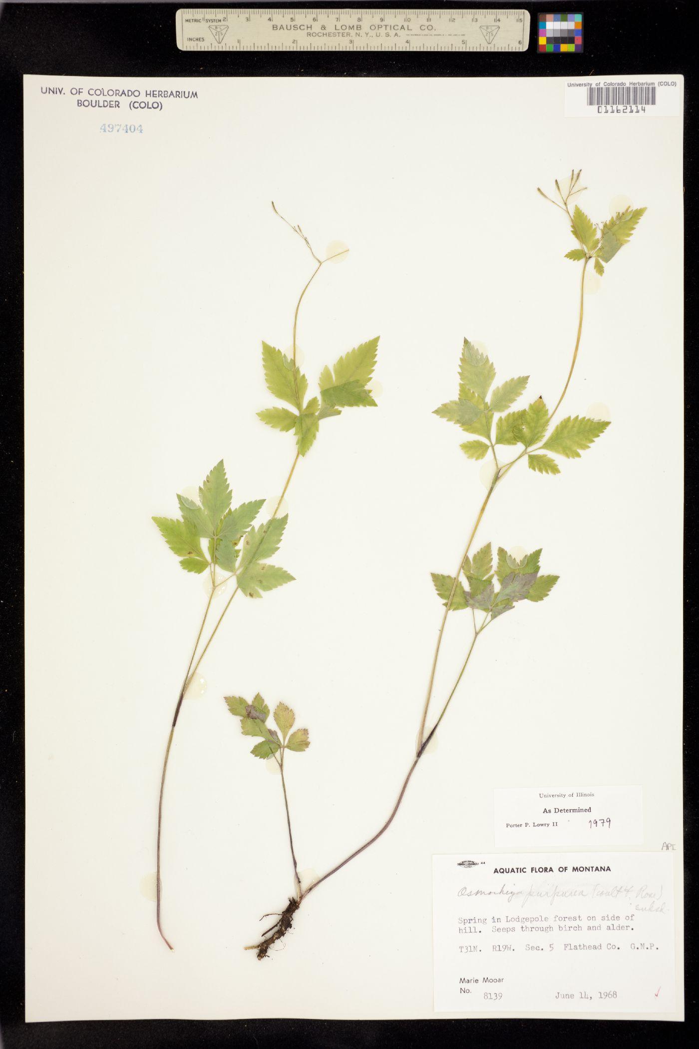 Osmorhiza purpurea image