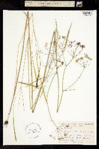 Image of Oxypolis denticulata