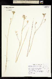 Perideridia lemmonii image