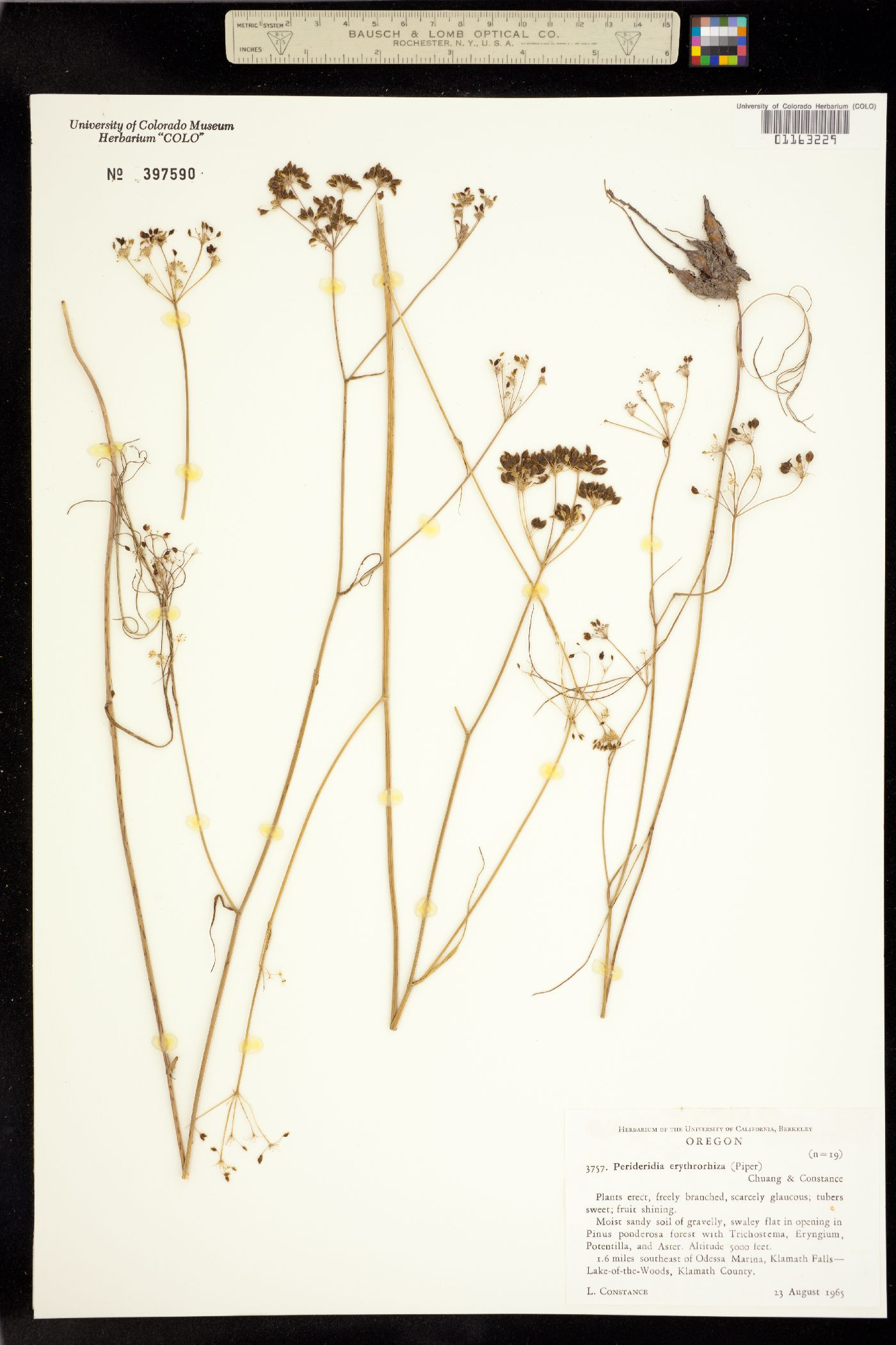 Perideridia erythrorhiza image
