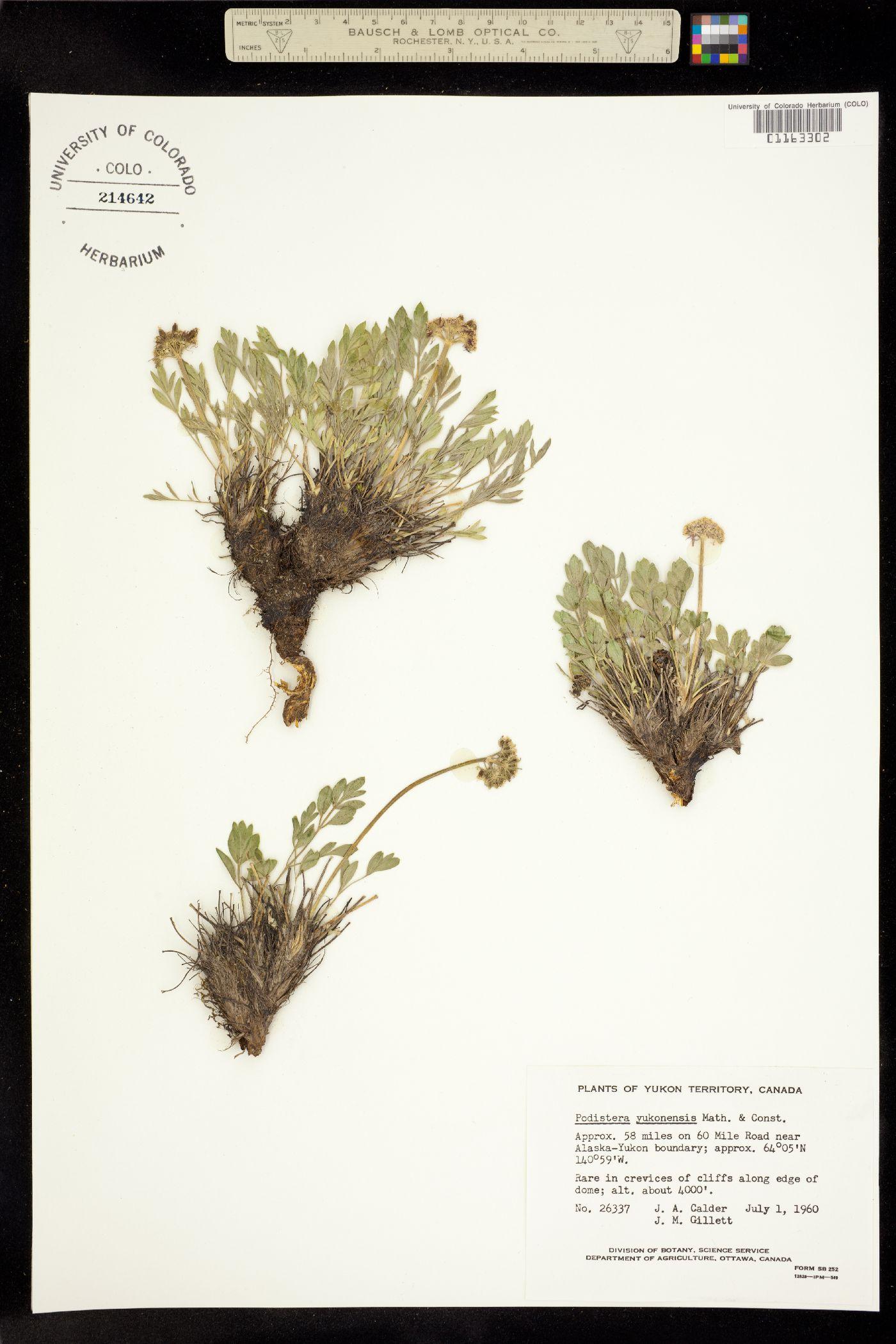 Podistera yukonensis image