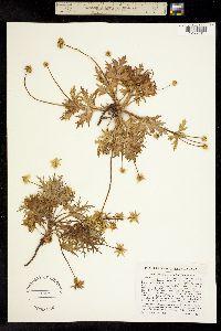 Sanicula arctopoides image