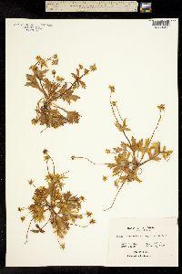 Image of Sanicula arctopoides
