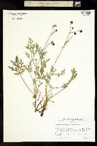 Image of Sanicula bipinnatifida