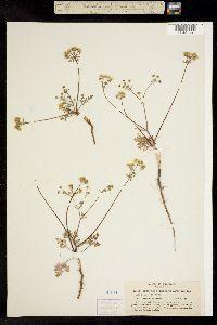 Sanicula nevadensis image