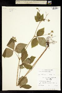 Image of Sanicula trifoliata