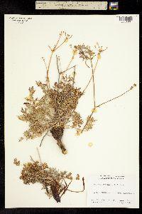 Sanicula deserticola image