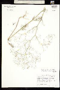 Spermolepis diffusa image