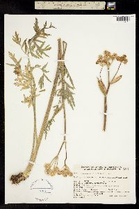 Image of Sphenosciadium capitellatum