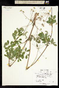 Image of Taenidia montana