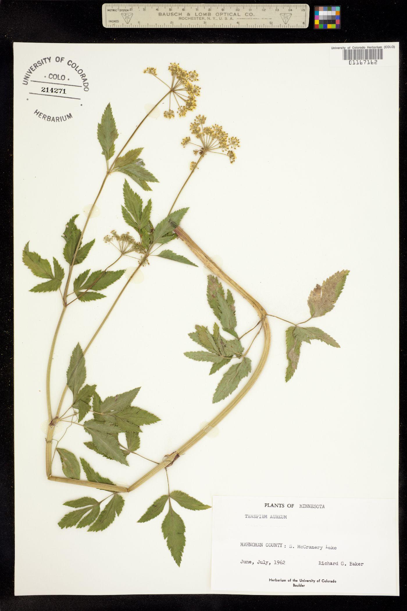 Thaspium aureum image