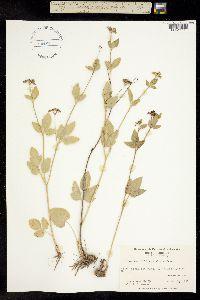 Image of Thaspium trifoliatum