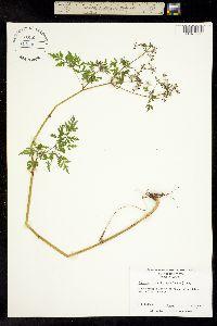 Image of Thaspium pinnatifidum
