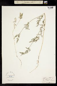 Image of Torilis nodosa