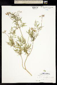 Image of Trepocarpus aethusae