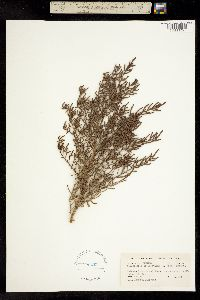 Allenrolfea occidentalis image