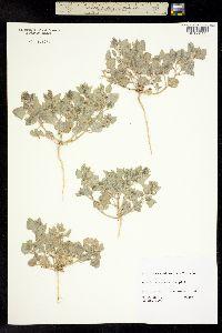Image of Atriplex caput-medusae