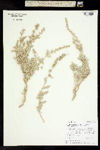 Atriplex gardneri image