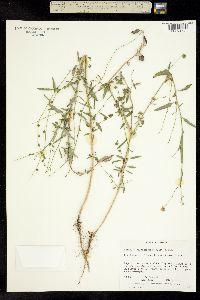 Image of Atriplex oblongifolia
