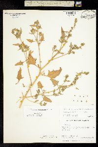 Image of Atriplex acadiensis