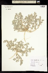 Image of Atriplex hillmanii