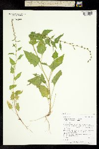 Blitum virgatum image