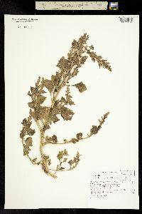 Chenopodium rubrum image