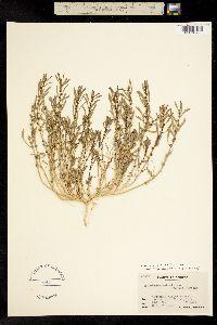Blitum spathulatum image