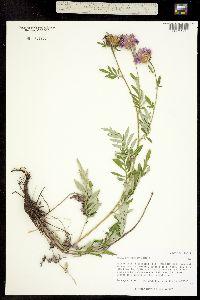 Centaurea dealbata image