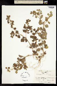 Image of Acanthospermum australe