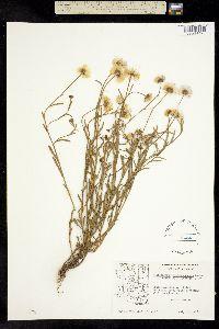 Erigeron versicolor image