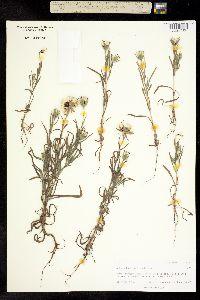 Image of Achyrachaena mollis