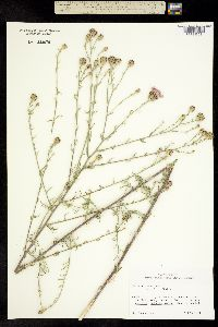 Centaurea diffusa image